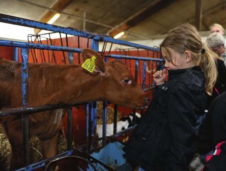 Josefine Berntsson, 6 år, träffade en nyfiken kalv inne i ladugården.