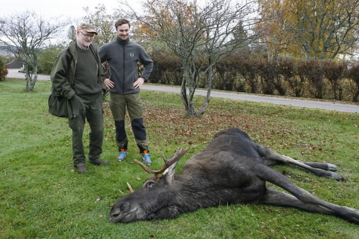 Stångad av rival. Älgtjuren var redan död när eftersökningsjägaren Björn Seve kom till tomten vid Folkets hus i Älvängen där Oscar Frii från det lokala jaktlaget redan fanns på plats.