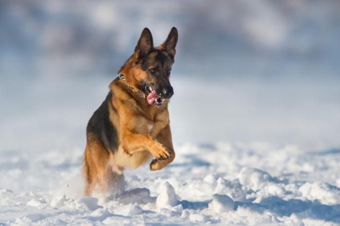 Schäfern är Ales populäraste hund.