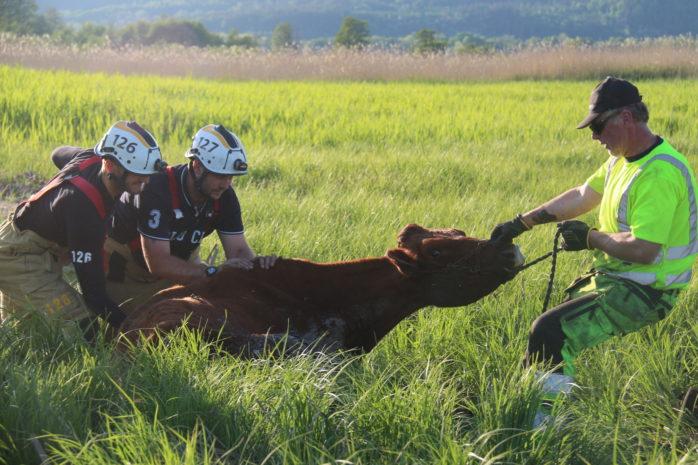 En ko räddades på onsdagskvällen.