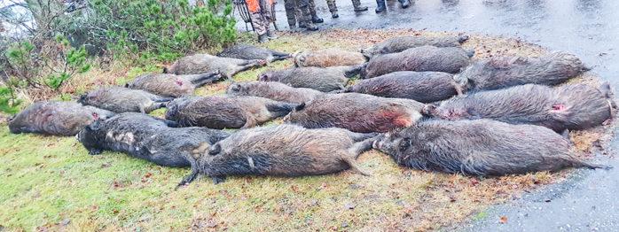 På trettondagen gick 120 jägare samman och lyckades fälla 18 vildsvin i området Starrkärr socken, öster om Alafors och Älvängen. Foto: Jan Johansson