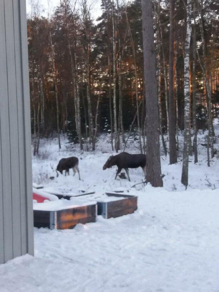 En älgko med kalv uppehåller sig invid Kronogården i Älvängen. Jaktledningen i Älvängenortens Viltvårdsområde uppmanar boende i området att visa älgarna hänsyn. Foto: Josefine Nilsson