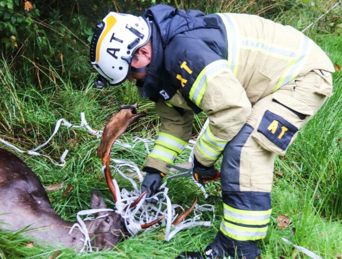 Räddningstjänsten försökte utan framgång rädda livet på en dovhjort som fastnat i ett stängsel.  Bild: Christer Grändevik